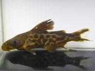 シノドンティス プレウロプス