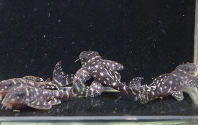 ♂L333国産×♀スタークラウンsp.リオネグロ HGブリード