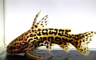 スカイブルージャガーキャット 変柄 ブラジル サンフェリッペ
