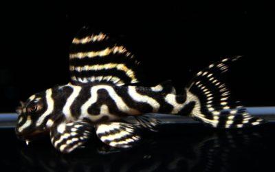 ♂ダンプメロンメガ×♀L333(2)