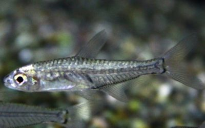 シュードブリタニクティスセミプラチナ ロンドニア