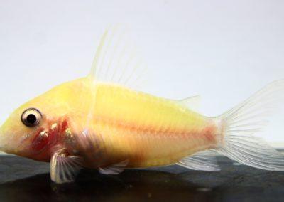 レオパルダス白化(4)