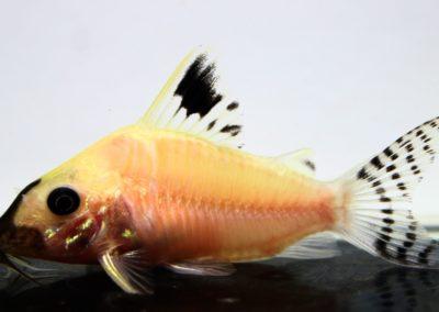 レオパルダス白化(1)