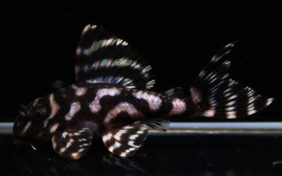 ♂ダンプメロン×♀(ドラゴン×MC) HGブリード(2)
