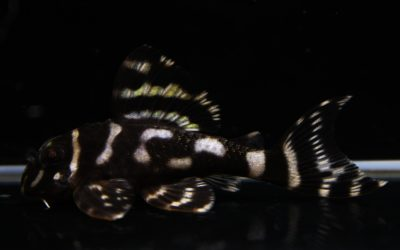 ♂ダンプメロン×♀(ドラゴン×MC) HGブリード(5)